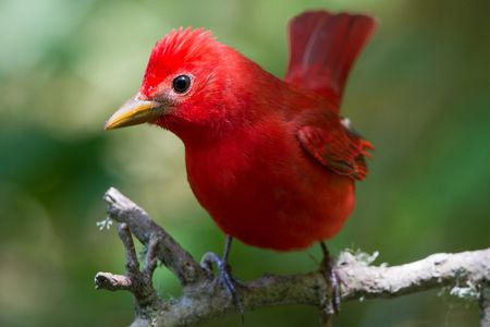 Top Red Birds to Keep as Pets